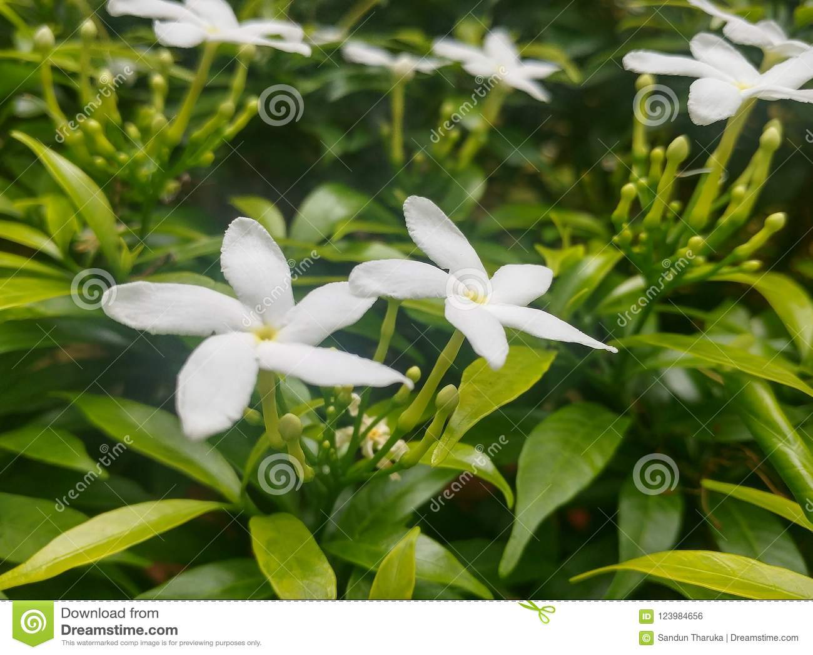 Beautiful White Flowers In Sri Lanka Stock Photo Image Of Bawan