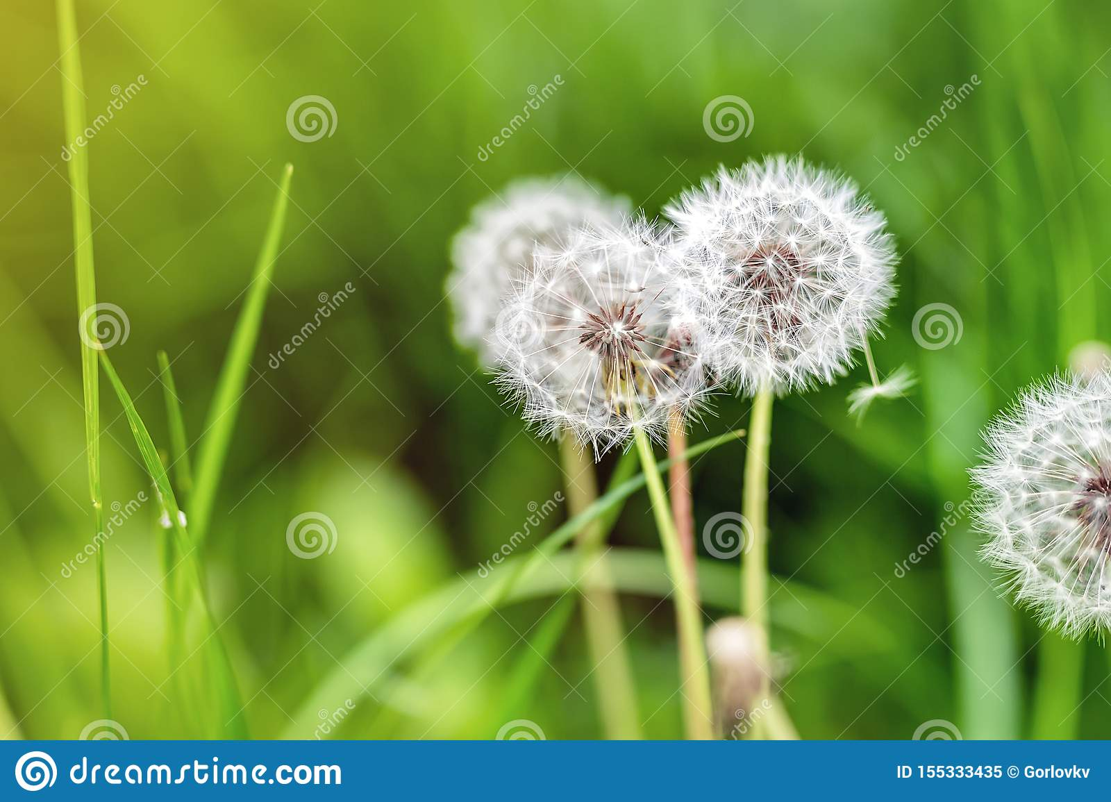 Beautiful white fluffy dandelion flowers among green grass meadow with blurred backgdrop. Summer or autumn nature bright natural