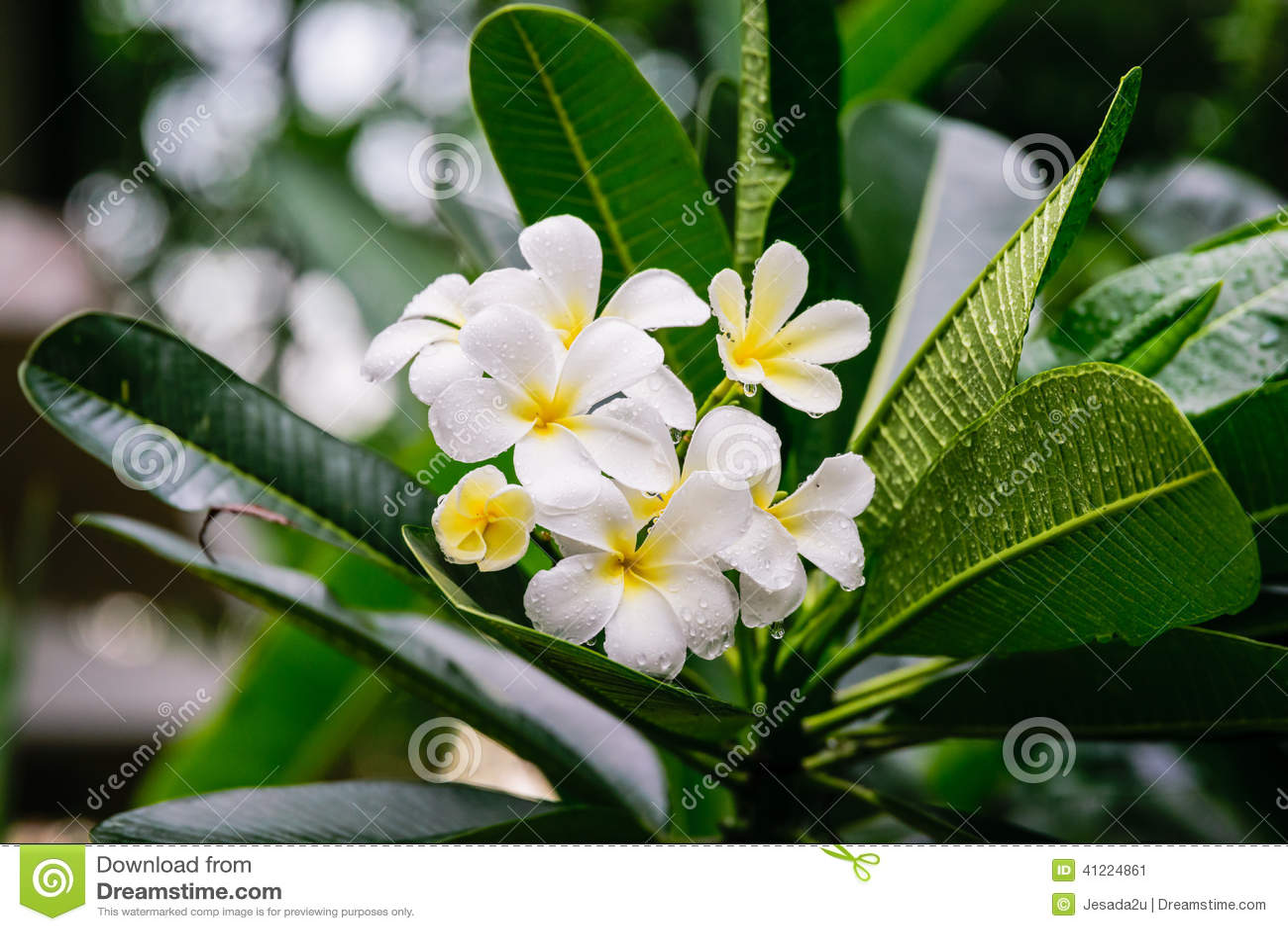 Beautiful white frangipani flowers plumeria flowers blooming on beautiful white frangipani flowers plumeria flowers blooming on tree izmirmasajfo Images