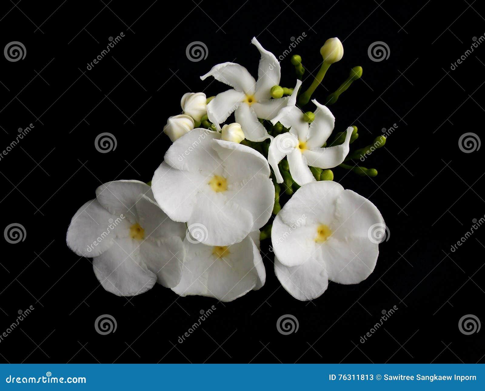 Beautiful White Gardenia Flower Stock Image Image Of Decoration