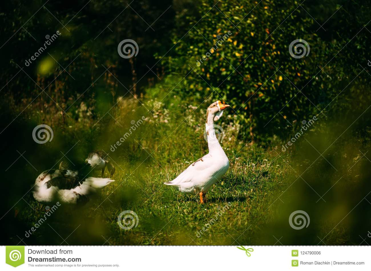 A beautiful white goose grazes on land. Watching the goose from the bush. Close-up.