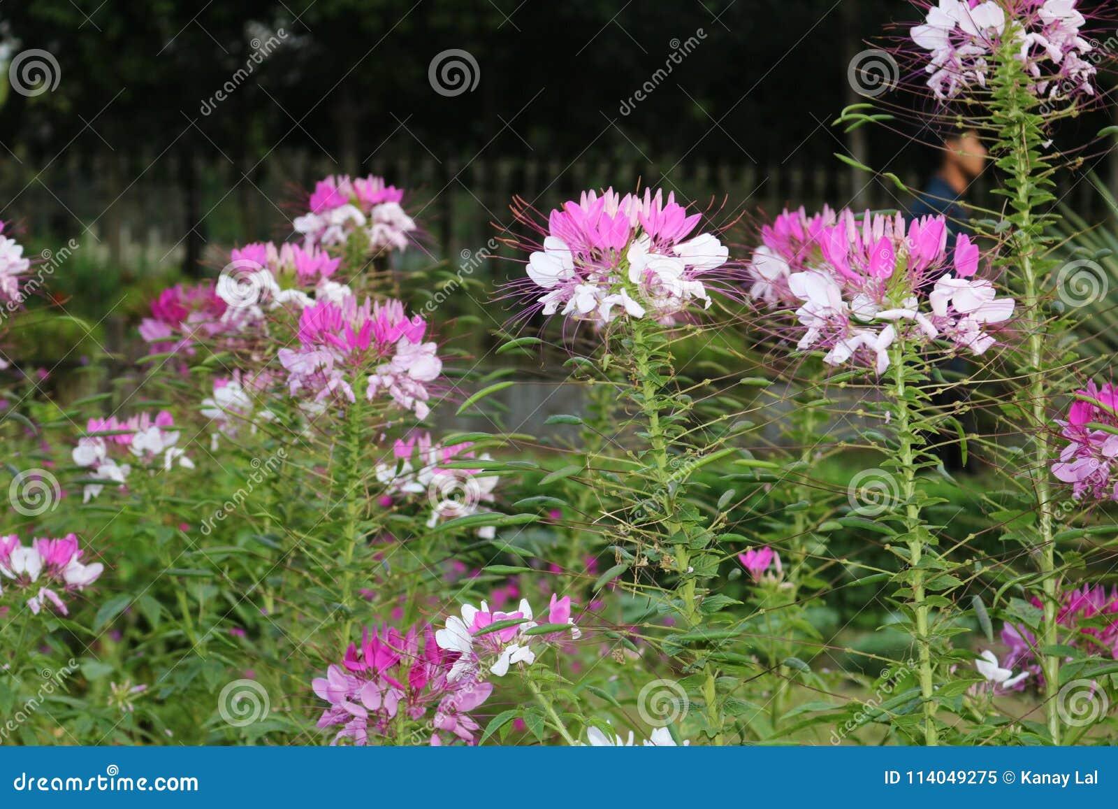 Beautiful white grass flower of bangladeshi garden stock image beautiful white grass flower of bangladeshi garden mightylinksfo