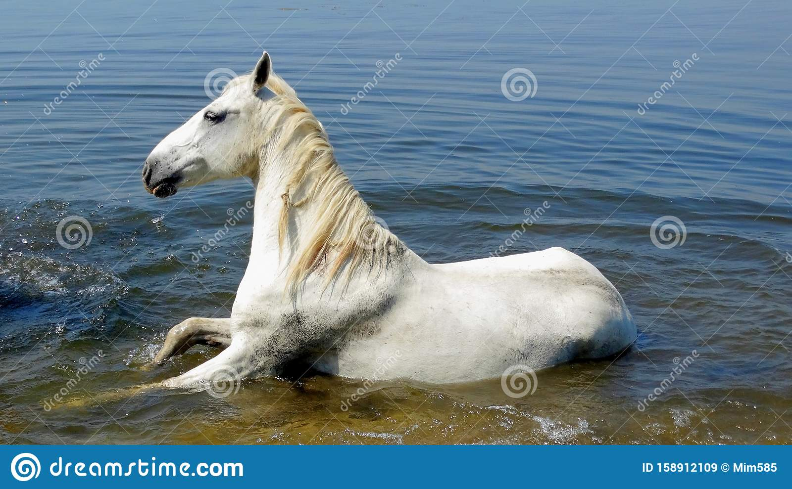 A Beautiful White Horse Lies In The Water Stock Image Image Of Waves Europe 158912109
