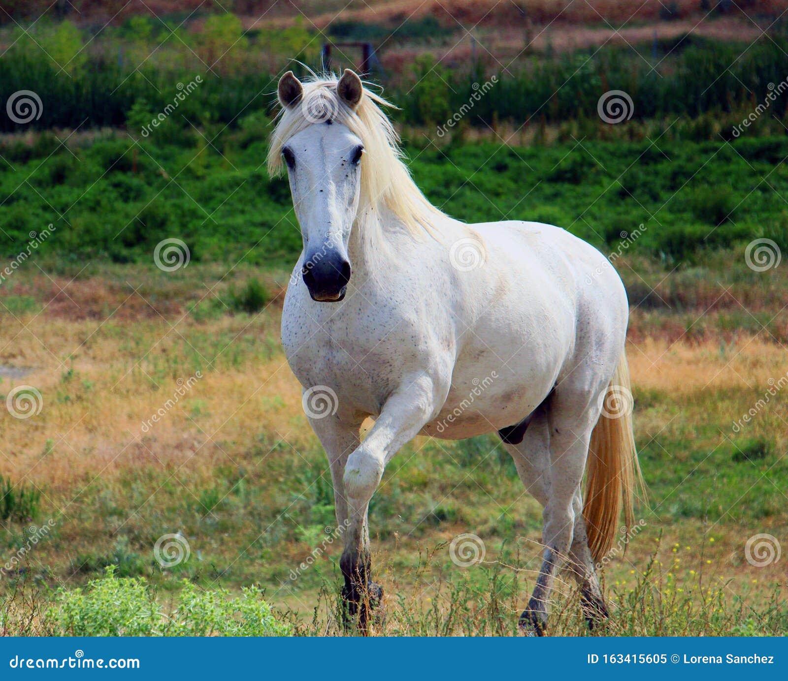 Beautiful White Horse Stock Image Image Of White Beauty 163415605