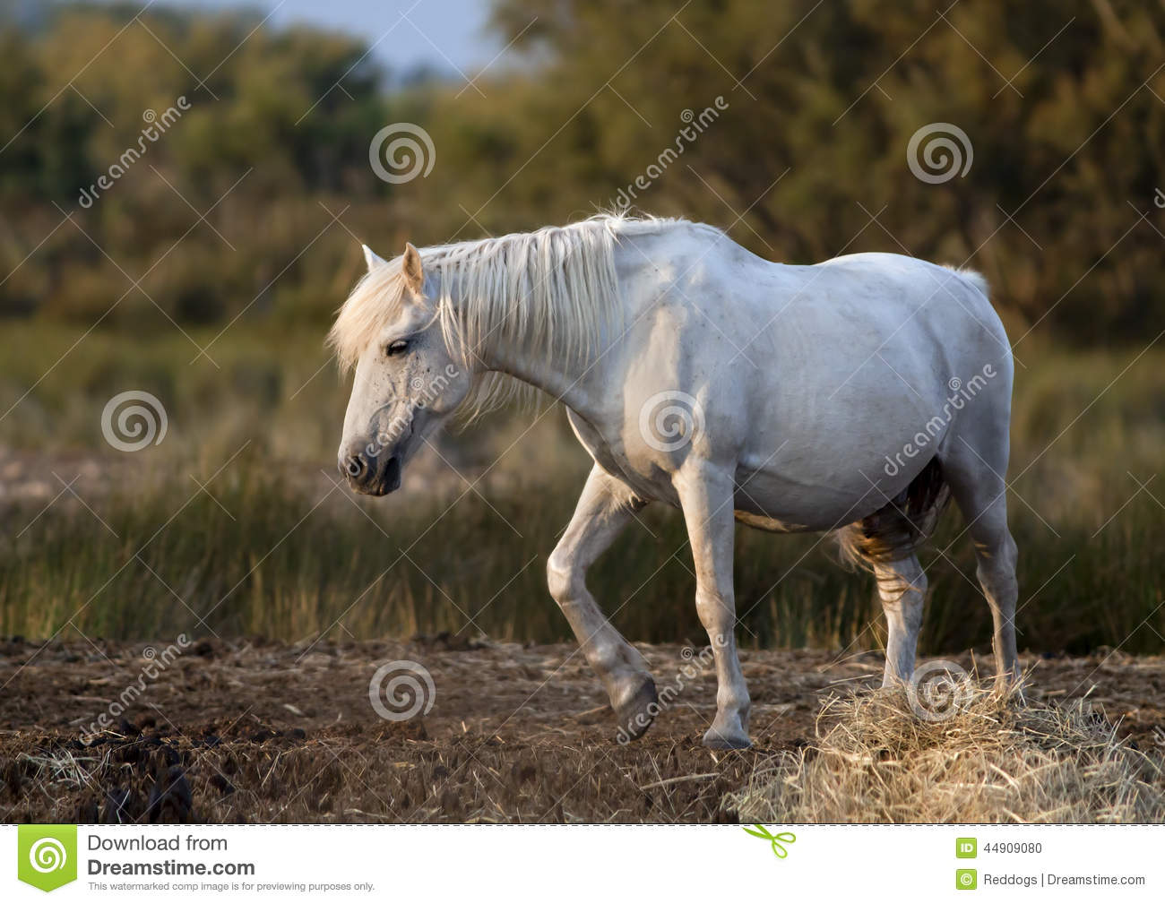 Beautiful White Horse Stock Photo - Image: 44909080