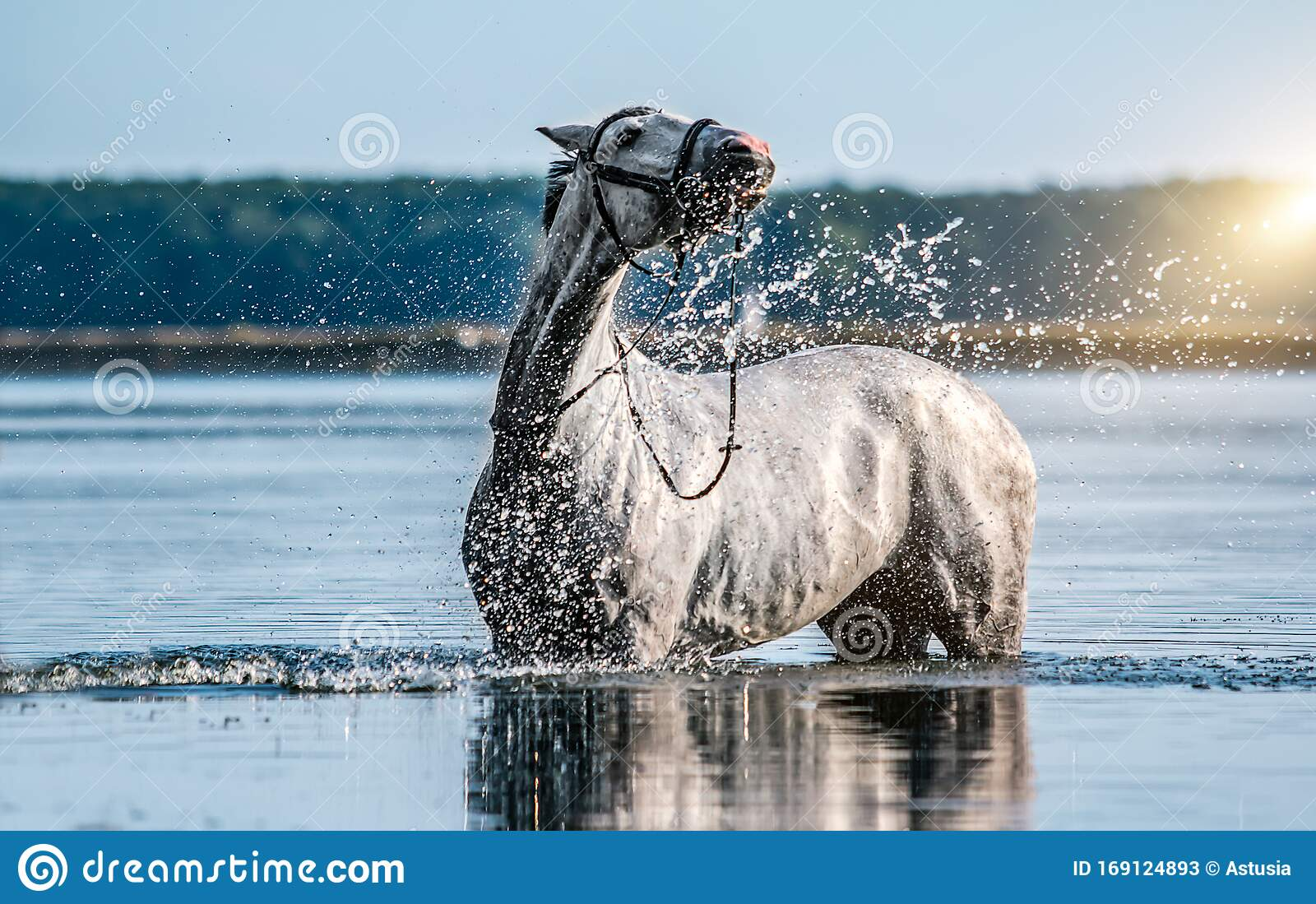 Beautiful White Horse In The Water Stock Image Image Of Power France 169124893