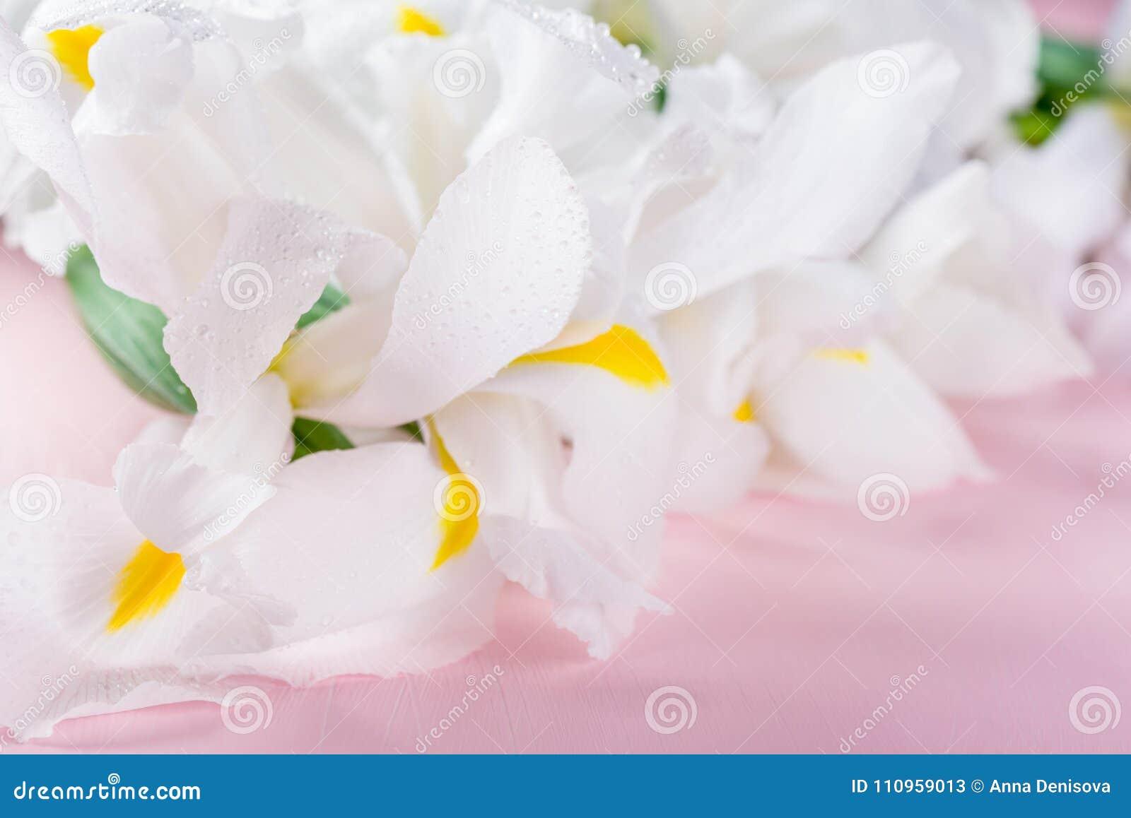 Beautiful white iris flowers on pink background stock image image beautiful white iris flowers on pink background stock image image of germanica macro 110959013 izmirmasajfo