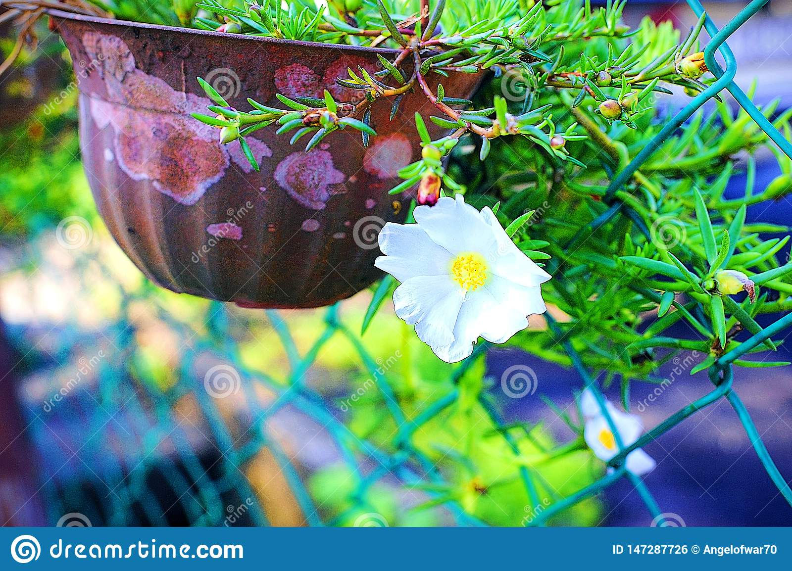 Beautiful White Japanese Rose By The Gate