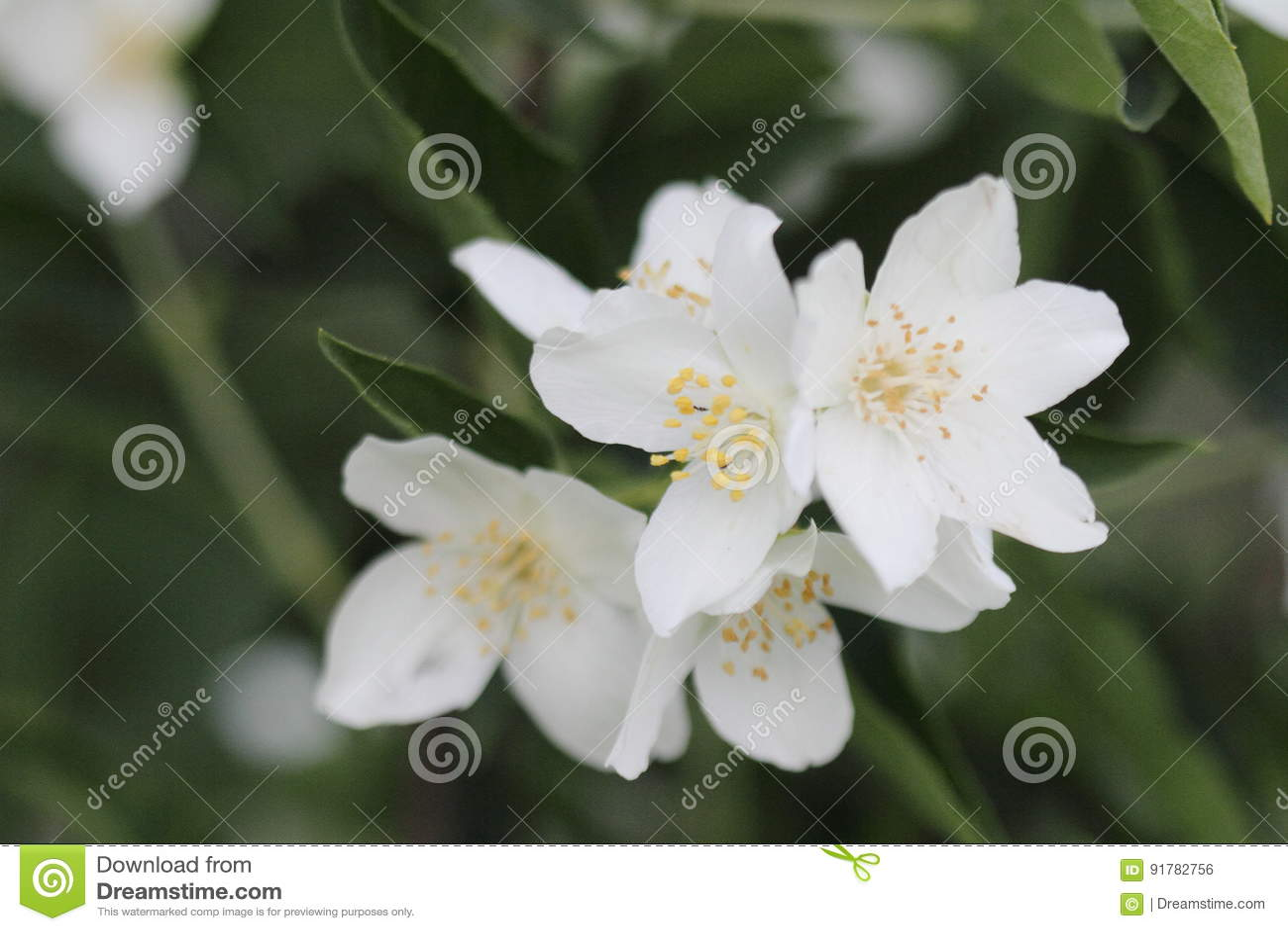 Beautiful white jasmine flower in the garden stock photo image of download beautiful white jasmine flower in the garden stock photo image of little garden izmirmasajfo