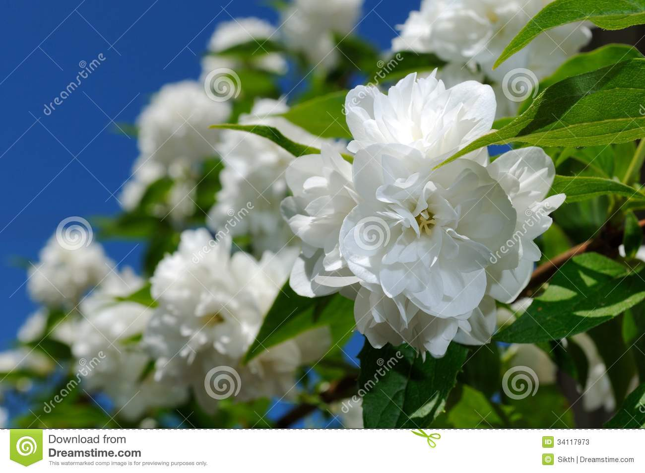 Beautiful White Jasmine Flowers On Blue Sky Background Stock Image