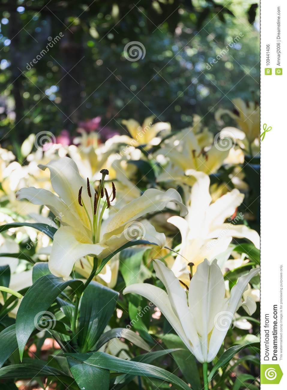 Beautiful White Lily Flower In Botanic Garden Stock Photo Image Of