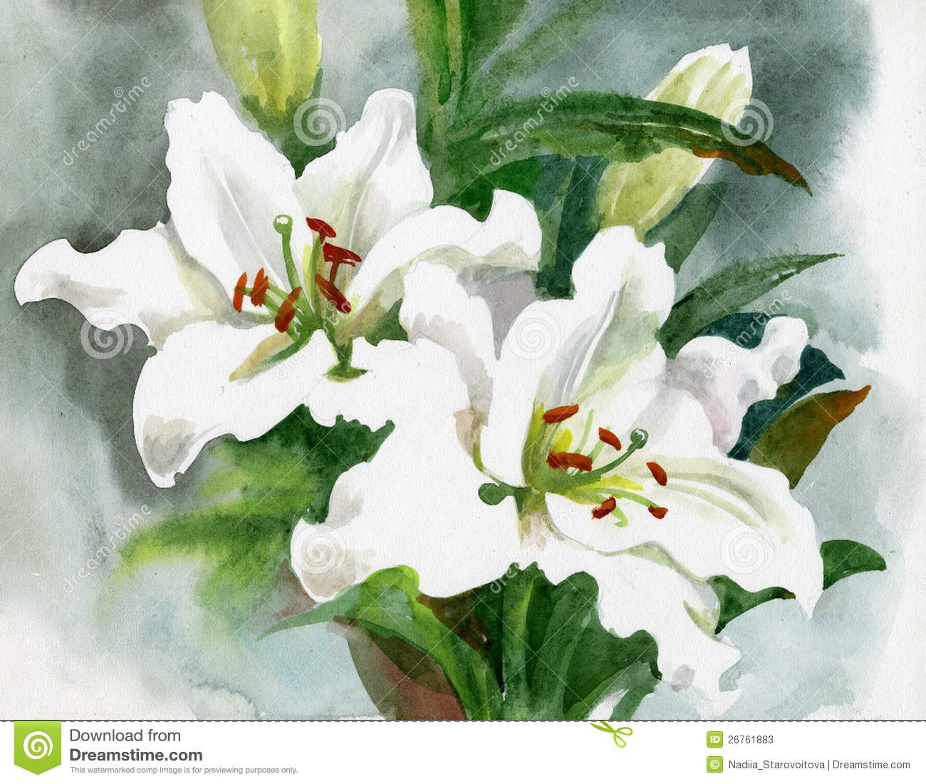 Beautiful White Lily Flowers Stock Illustration Illustration Of