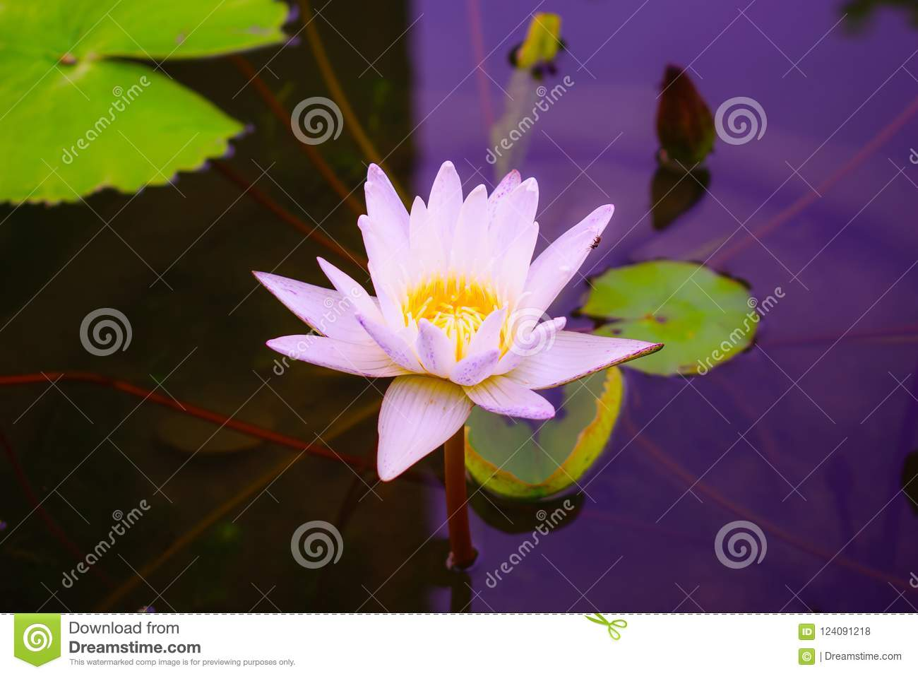 Beautiful White Lotus Flower With Green Leaf Stock Photo Image Of
