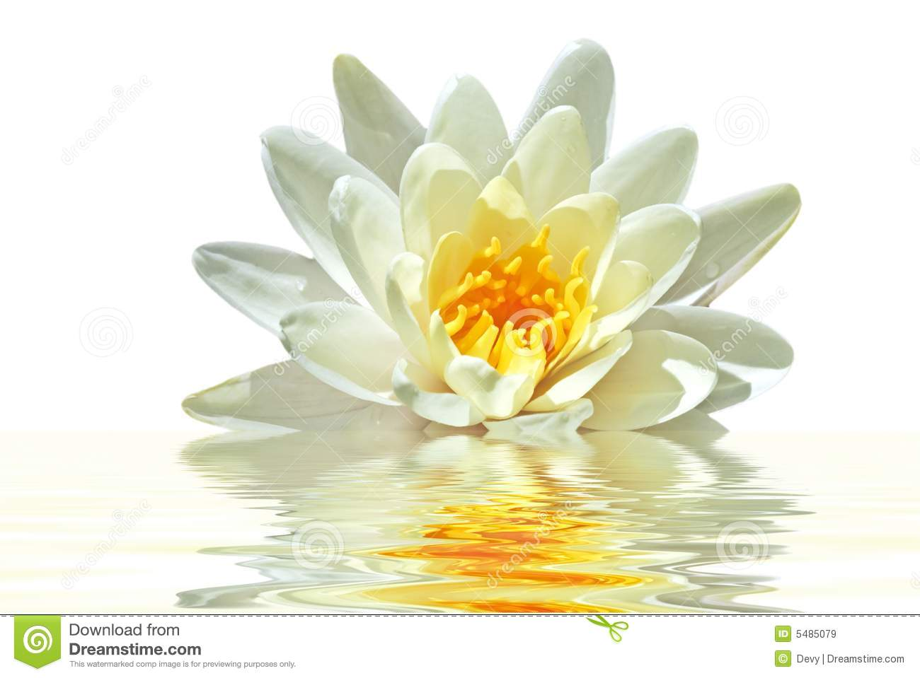 beautiful white lotus flower in water royalty free stock images, Beautiful flower