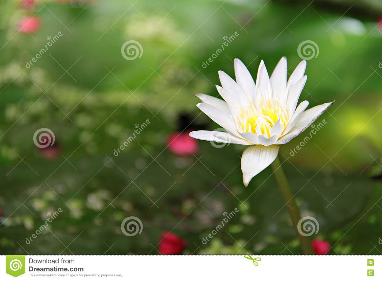 Beautiful White Lotus Flower Or Water Lily Blooming On Pond Stock