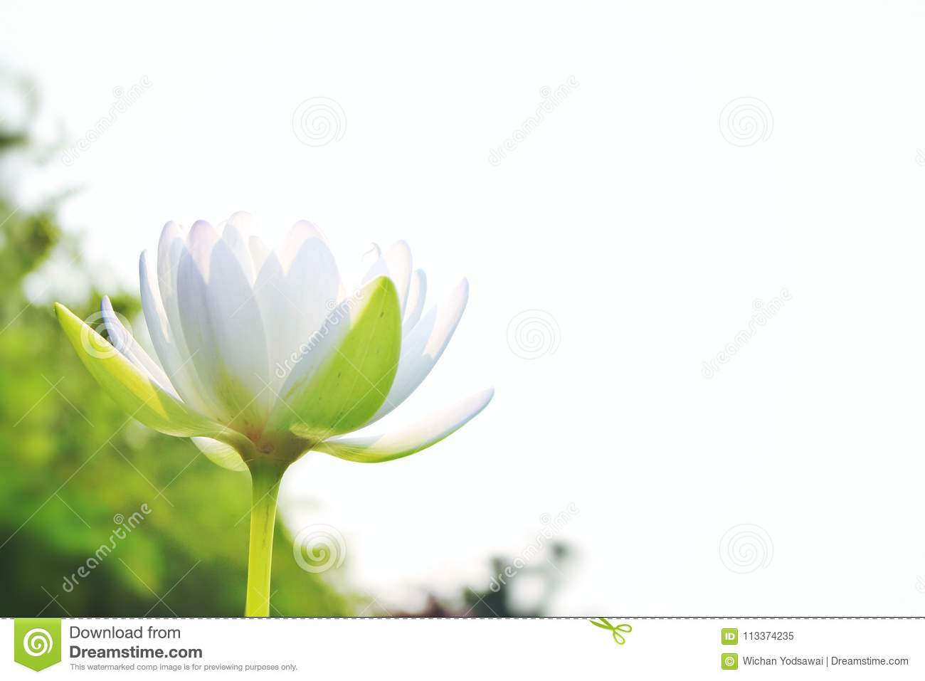 Beautiful White Lotus On A White Sky Background Stock Image Image