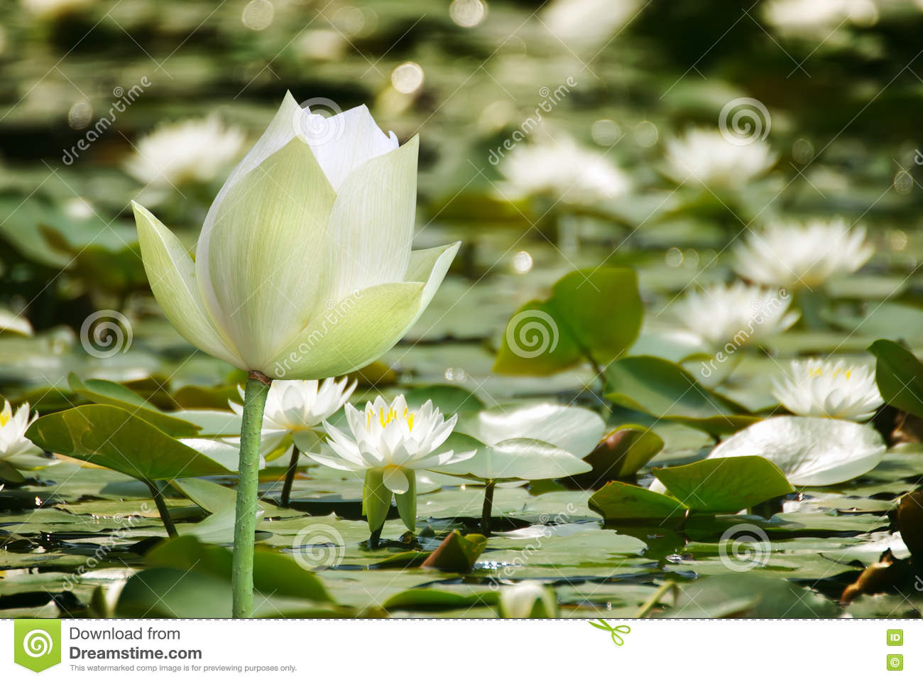 White Lotus Flower On Water · Free Stock Photo