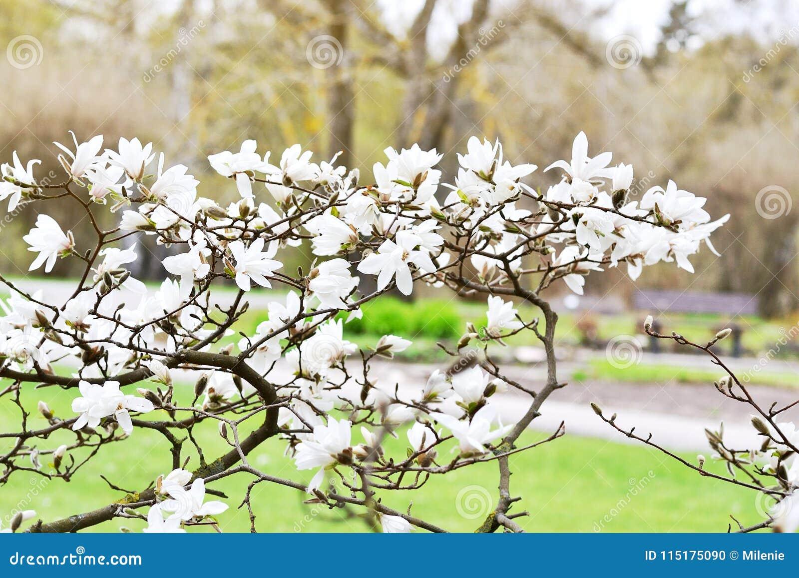 Beautiful White Magnolia Blossom On Magnolia Tree Stock Photo Image Of Magnolia Floral 115175090