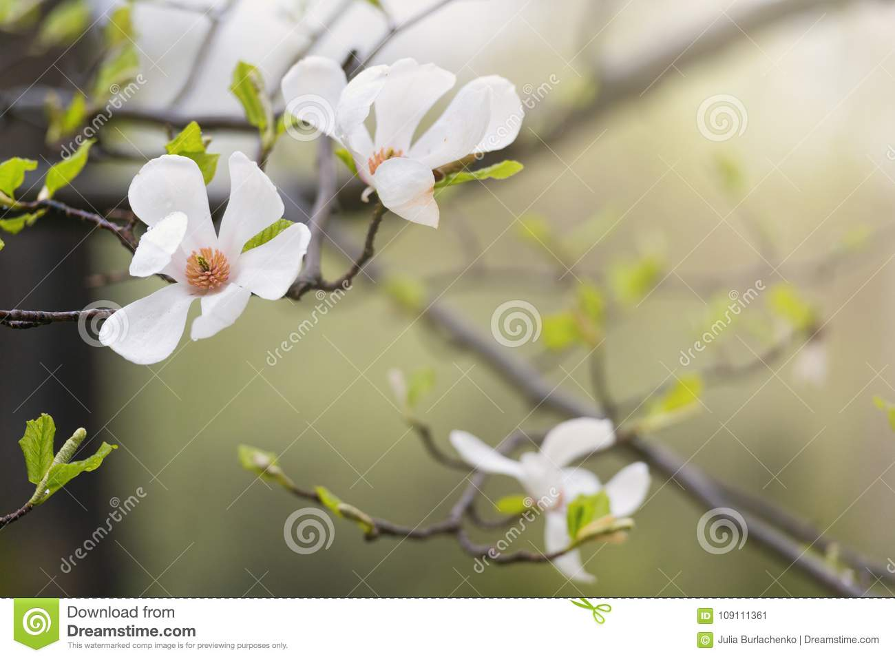 Blooming White Magnolia Flowers Stock Image Image Of Flower
