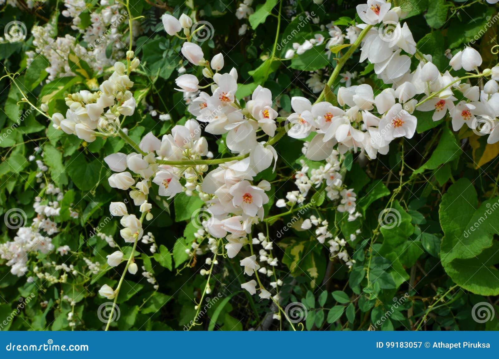 Beautiful white mexican creeper flowers stock image image of beautiful white mexican creeper flowers mightylinksfo