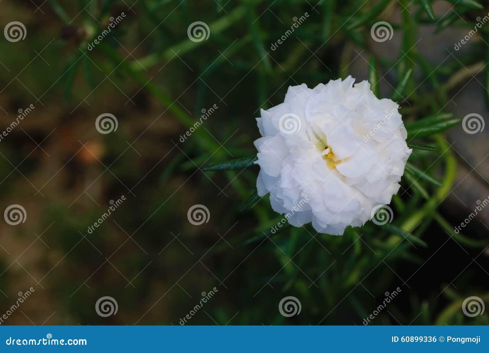Beautiful White Moss Rose Flower Stock Photo Image Of White Flora