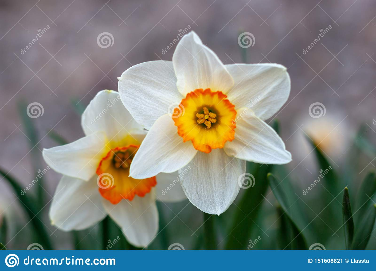 Beautiful white narcissus flower with yellow center