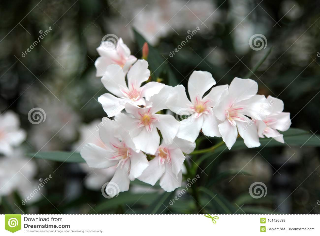 White Oleander Stock Photo Image Of Leafs Background 101426598