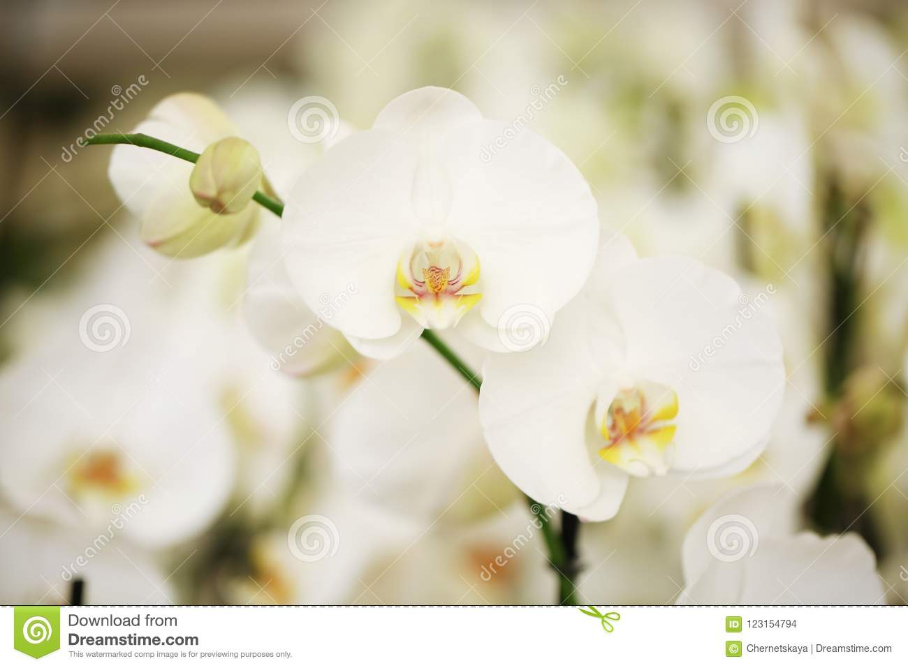Beautiful White Orchid Flowers On Blurred Background Stock Photo