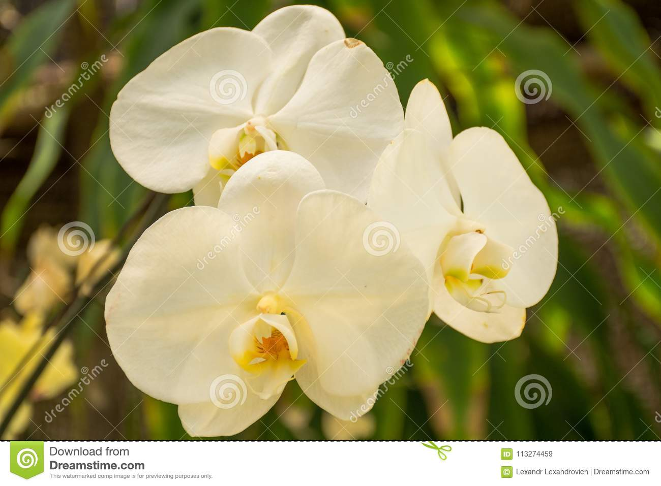 Beautiful White Orchid Flowers In The Garden Stock Image Image Of