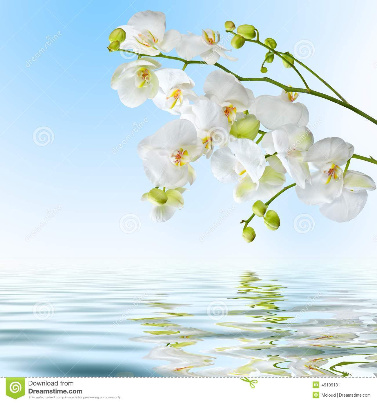 White Orchid Water Pink: Beautiful White Orchid Flowers Reflected In Water Stock