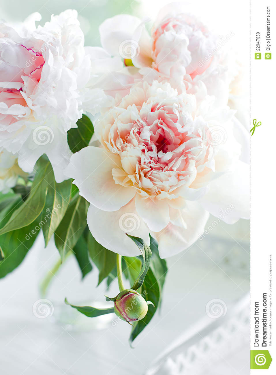 Beautiful White Peony Flowers Stock Photo Image Of Leaf Green