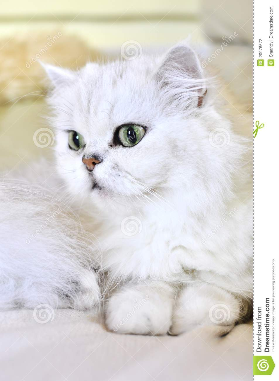 Beautiful White Persian Cat With Green Eyes Stock ...