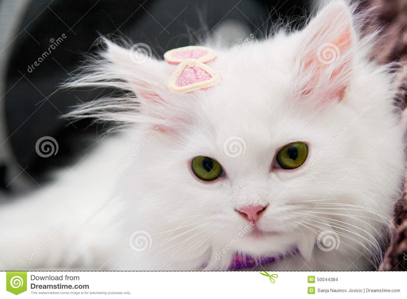 Beautiful White Persian Cat Stock Photo - Image: 50044384