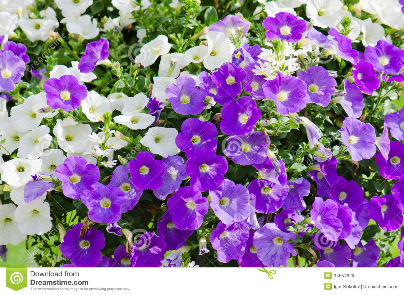 beautiful white and purple petunia flowers royalty free stock, Beautiful flower