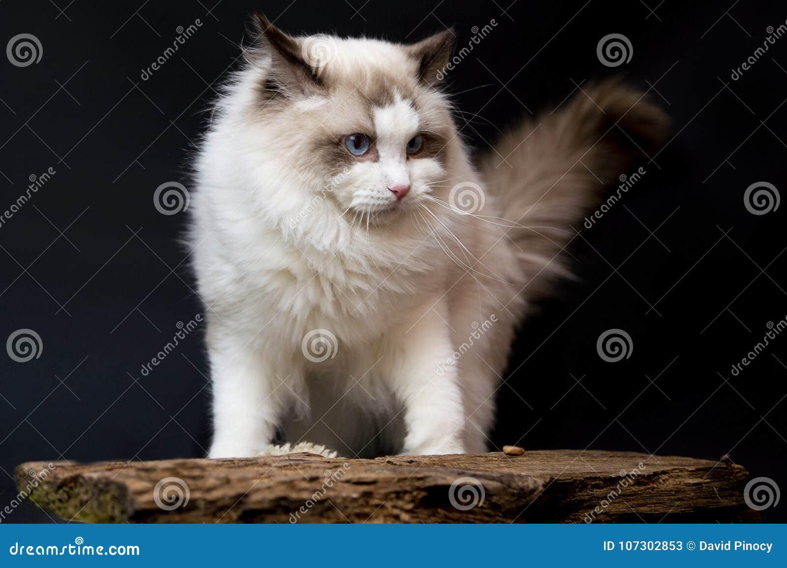 Ragdoll white very beauty cat