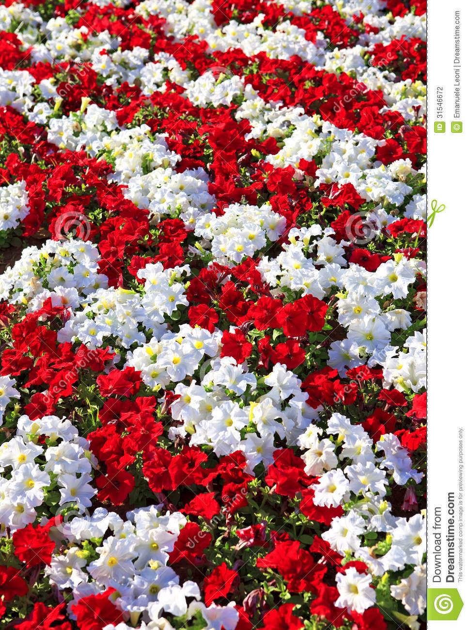 Beautiful White And Red Petunias Arranged In Rows Stock ...