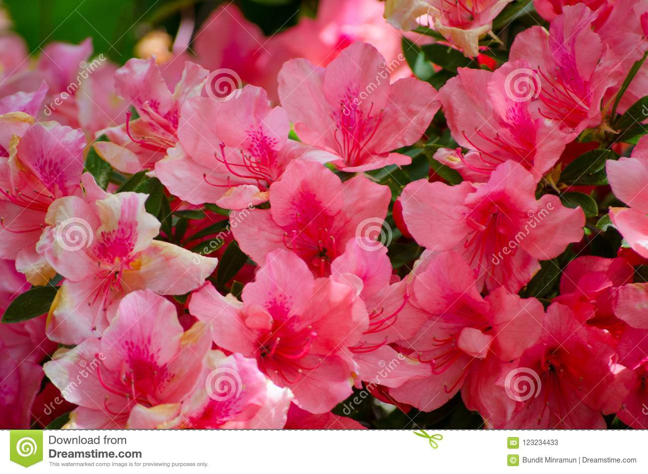 Beautiful White Red Pink Azalea Flowers In A Spring Season At A
