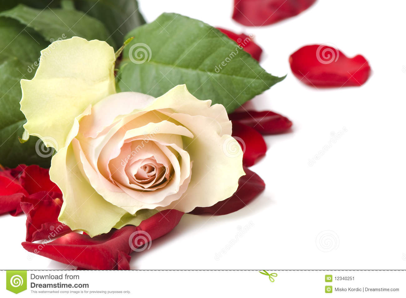 beautiful white rose for day valentine as gift stock image - image, Ideas