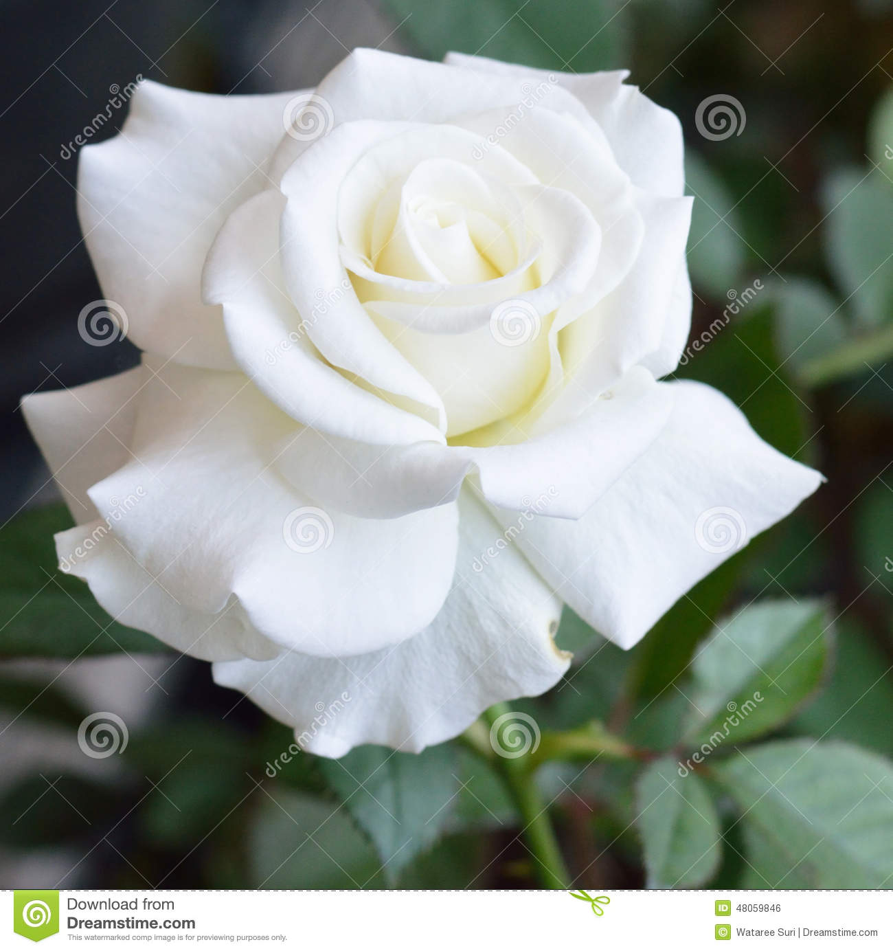 100 Types of the Most Beautiful White Flowers for Your ...  |Beautiful White Rose Flowers