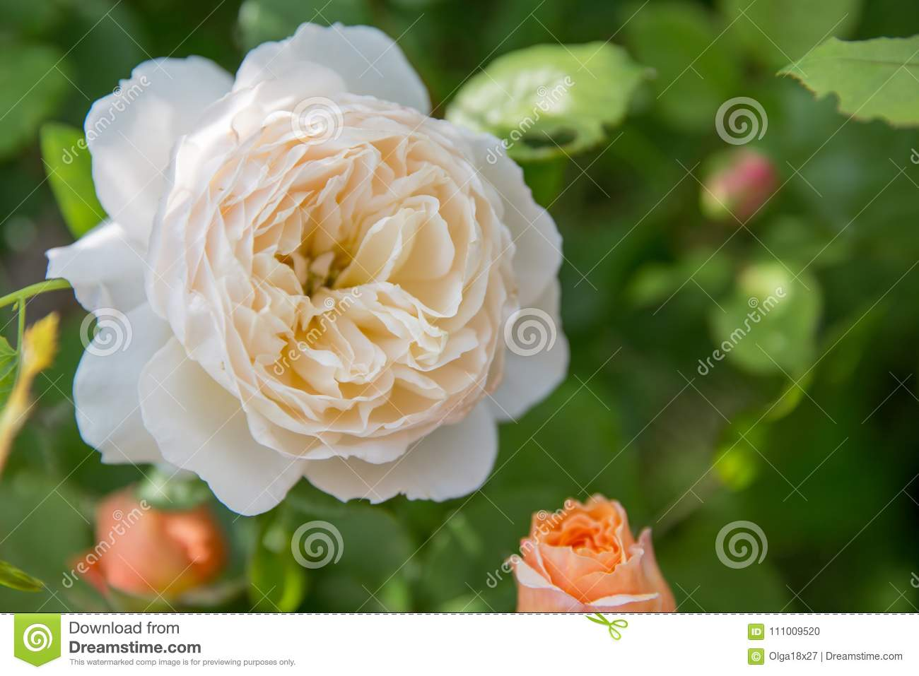 Download Beautiful White Rose In A Garden Stock Photo