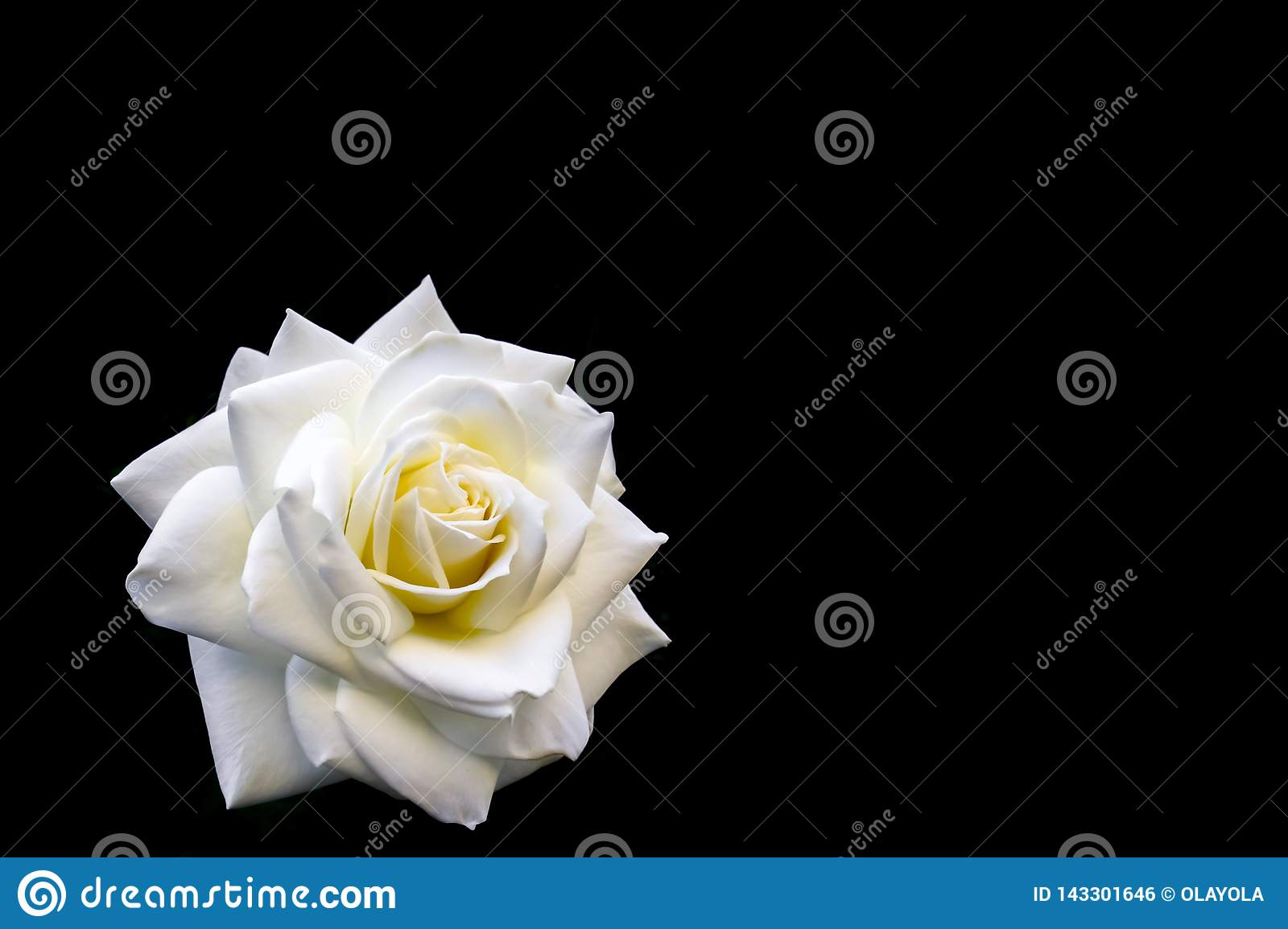 Beautiful white rose isolated on black background. Ideal for greeting cards for wedding, birthday, Valentine`s Day, Mother`s Day