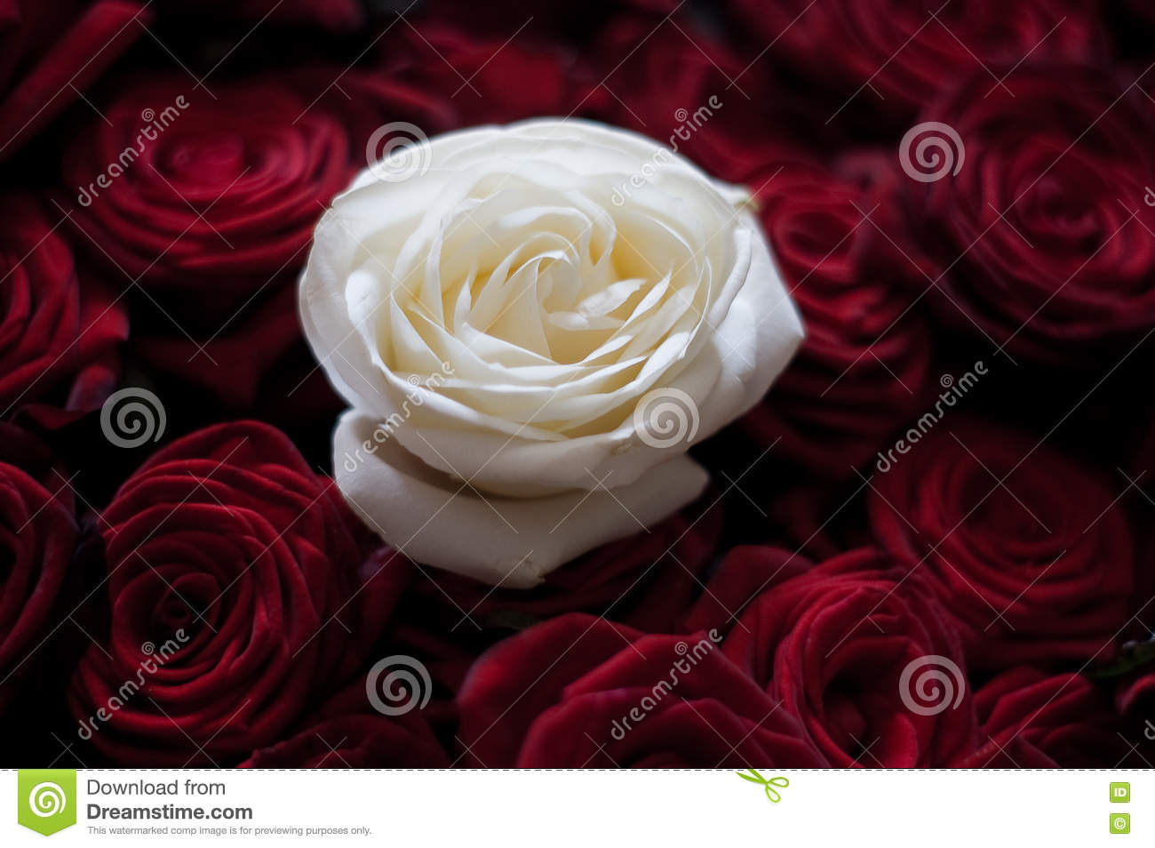 Beautiful White Rose Among Red Roses Stock Photo Image Of