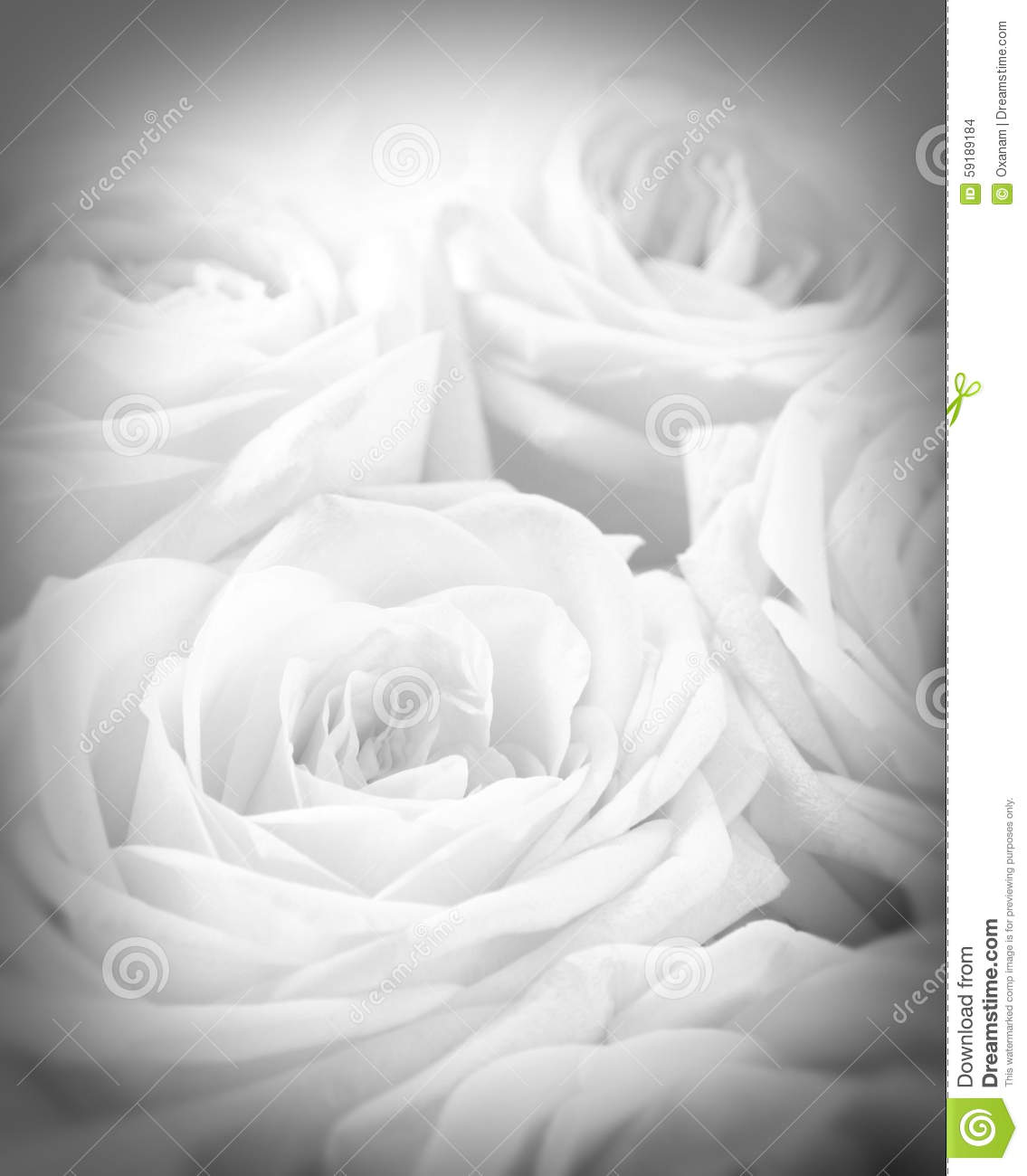 Beautiful White Roses With Vignette As Wedding Background