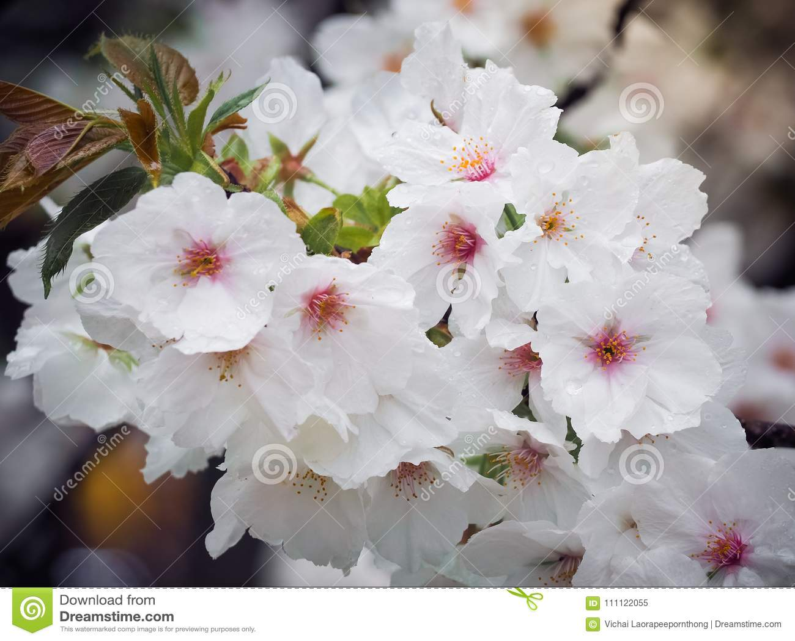 Beautiful White Sakura Flowers In Japan Stock Image Image Of