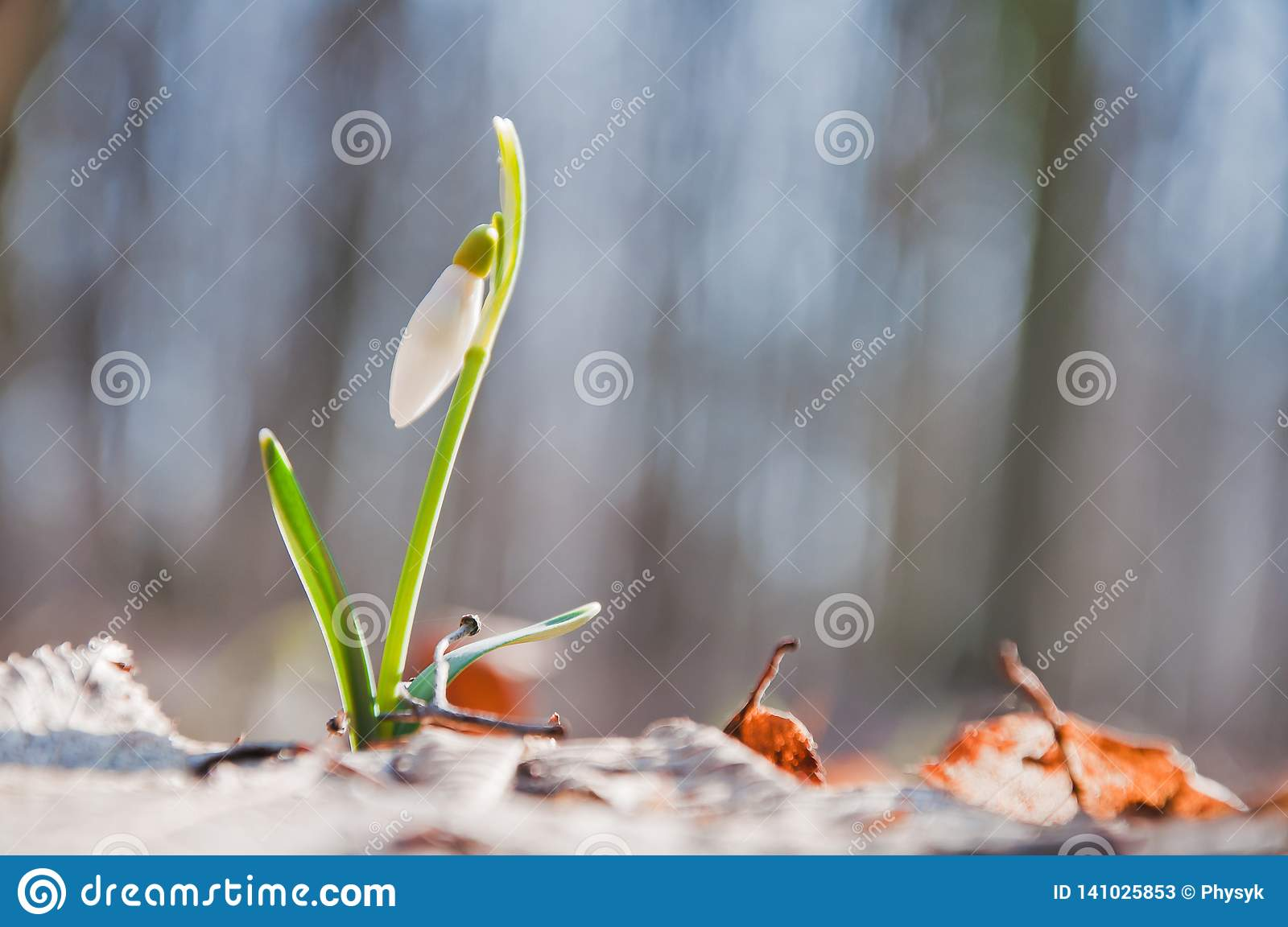 Beautiful white snowdrop flower begins to blossom in the forest
