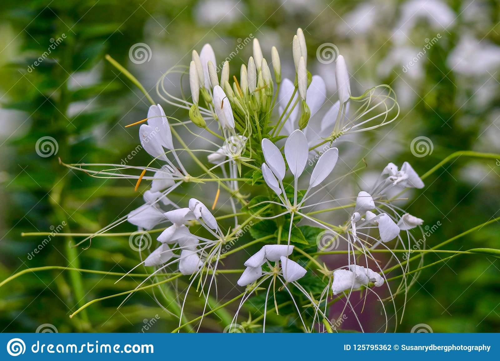 White Spider Flower On A Sunny Day Stock Photo Image Of Meadow