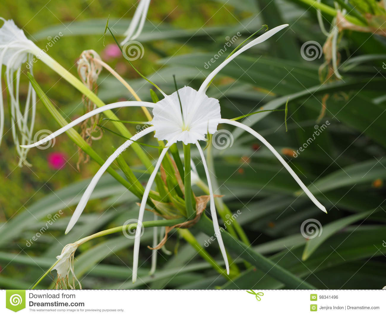 Beautiful white spider lily flower stock photo image of macro download beautiful white spider lily flower stock photo image of macro cream izmirmasajfo