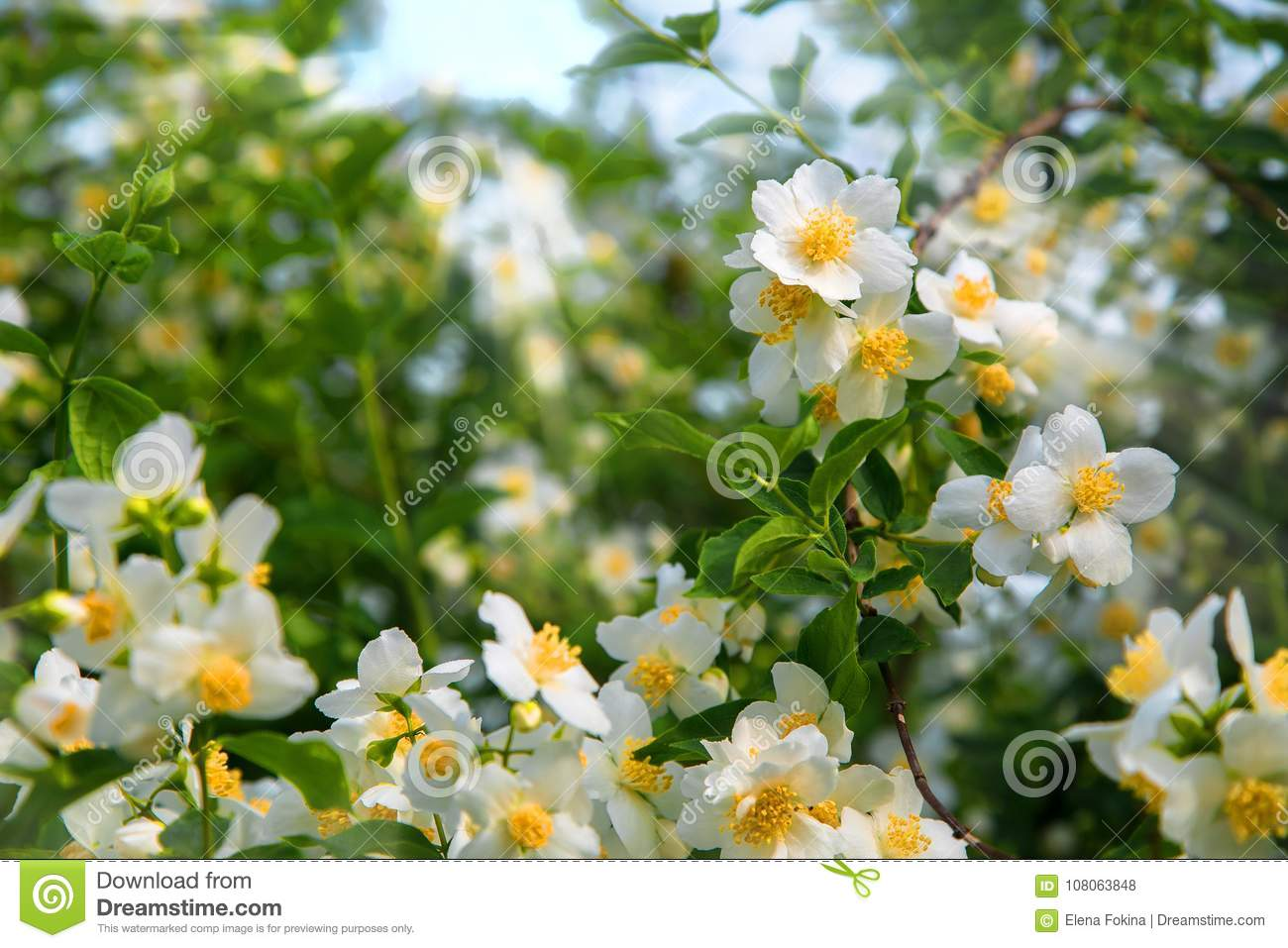 Beautiful White Spring Flowers Jasmine In The Morning Dew Stock