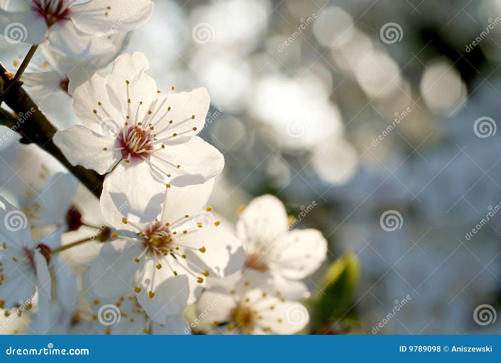 Beautiful white Spring tree flowers