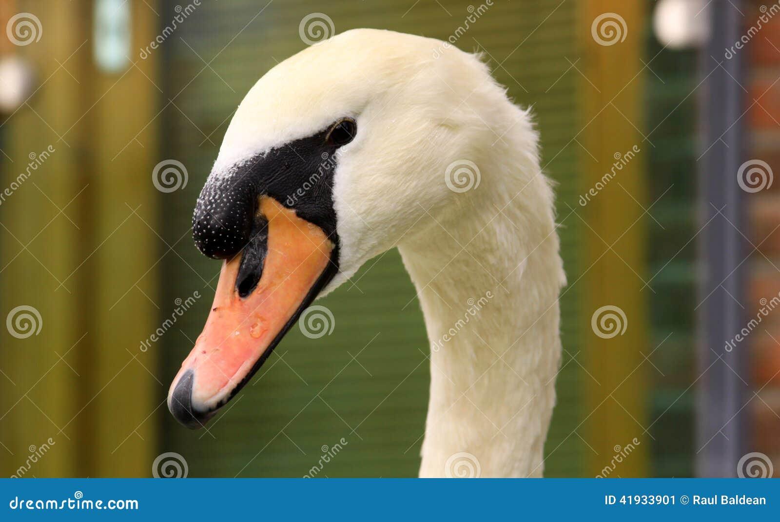 Beautiful white swan portrait